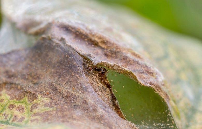 guerra acari ciliegeto e mandorleto, difesa piante, puglia, gioia del colle, agronomo, nicola giannico